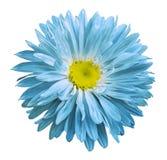la flor Turquesa-amarilla del aster en un blanco aisló el fondo con la trayectoria de recortes Florezca para el diseño, textura,  Imágenes de archivo libres de regalías