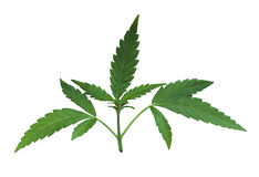 La flor verde de la marijuana sale del detalle Imagen de archivo