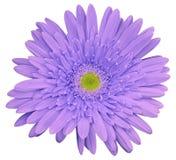 La flor violada clara del gerbera, blanco aisló el fondo con la trayectoria de recortes primer Ningunas sombras Para el diseño Fotografía de archivo libre de regalías