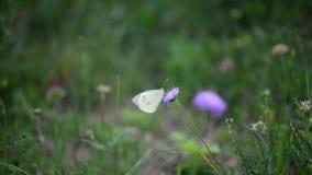 La flor violeta en el viento en la mariposa blanca del backgroundNice de la hierba verde come en el verano violeta de la ecología almacen de metraje de vídeo