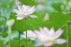 La flor y el brote de Lotus se destacan juntos Foto de archivo