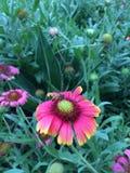 La flor y la abeja del cosmos Foto de archivo
