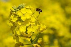La flor y la abeja en el campo, Chengdu, China de la violación Foto de archivo libre de regalías