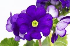 Flora dolce sul fondo bianco dell'isolato Fotografia Stock