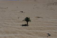 La flora rachitica del parco nazionale di Corralejo Immagini Stock