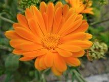 La floración anaranjada Fotografía de archivo libre de regalías