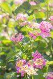 La floración con rosa florece el arbusto de la mora en primer del tiempo del mediodía Imagenes de archivo