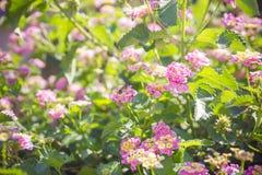 La floración con rosa florece el arbusto de la mora en primer del tiempo del mediodía Foto de archivo