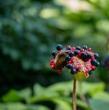 La floración de la peonía Imagenes de archivo