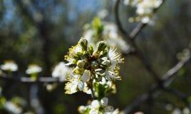 La floración de la primavera en Rusia de las flores blancas de los cerezos Imagenes de archivo
