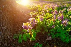 La floración de las flores del halleri del Corydalis cerca del árbol arraiga Foto de archivo
