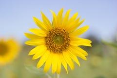 La floración del flor del girasol revela el detalle imagen de archivo libre de regalías