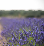 La floración del lavander florece en el campo, una visión más cercana Versión ajustada Imagen de archivo libre de regalías