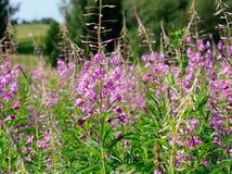 La floración del sally Fotos de archivo