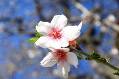 La floración es vernal. Fotografía de archivo