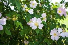 La floración hermosa de la flor subió en un fondo de hojas verdes foto de archivo libre de regalías