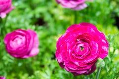 La floración hermosa de Ranuncul del rosa adentro graden imagen de archivo libre de regalías