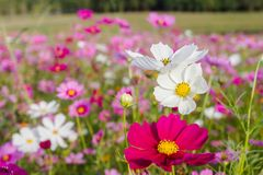 La floración hermosa del bipinnatus del cosmos cuando consiga el invierno que viene, como el fondo Imagen de archivo