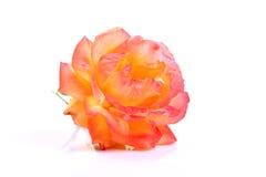 La floración salvaje subió Fotos de archivo