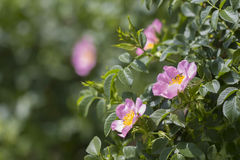 La floración salvaje subió con una sentada de la abeja Fotos de archivo