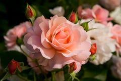 La floración subió con los pétalos delicados del color rosado Foto de archivo libre de regalías