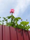 La floración subió detrás de la cerca del metal Foto de archivo libre de regalías