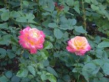 La floración subió en el jardín Fotografía de archivo libre de regalías