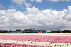 La floración subió los tulipanes en la primavera holandesa en los campos foto de archivo