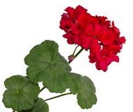 La floración roja de un geranio con las hojas Imagen de archivo libre de regalías