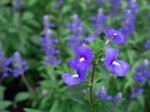 La floraison brésilienne bleue de fleurs de muflier Image stock