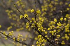 La floraison de la brindille de l'arbre commence par les fleurs jaunes Photographie stock
