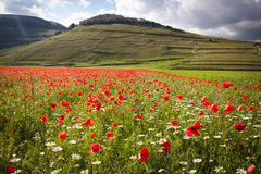 LA FLORAISON DU PLAN GRAND DE CASTELLUCCIO DI NORCIA Photo stock