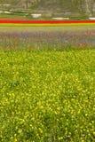 LA FLORAISON DU PLAN GRAND DE CASTELLUCCIO DI NORCIA Image libre de droits