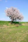 La floraison est vernale. Image libre de droits