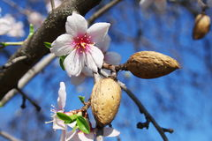 La floraison est vernale. Image stock
