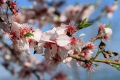 La floraison est vernale. Photo stock