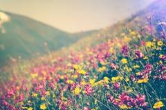 La floraison fleurit en saisons d'été alpines de ressort de vallée de montagnes Photographie stock