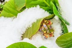 La floraison fleurit le bergenia badan avec les feuilles vertes couvertes par neige photo stock