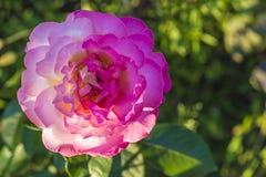 La floraison a monté Image libre de droits