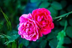 La floraison peu commune a monté au crépuscule images libres de droits