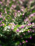 La floraison pourpre de fleur de crêpe photographie stock