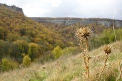 La floraison sèche de piquant Pré dans les montagnes image libre de droits