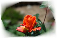 La floraison s'ouvrante a monté avec les pétales oranges photo libre de droits
