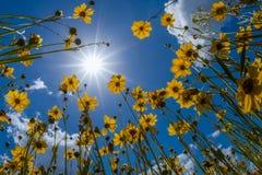 La Florida Tickseed debajo de un cielo soleado de la primavera imagenes de archivo