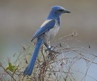 La Floride Frotter-Jay Image libre de droits