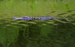 La Floride Gator Images libres de droits