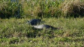 La Floride Gator Photographie stock libre de droits