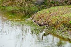 La Floride IBIS photos libres de droits