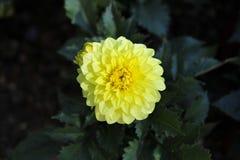 La Floride jaune Dahlia Blooming Photo libre de droits