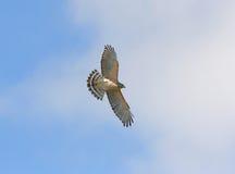 La Floride Rouge-a épaulé le faucon Photographie stock